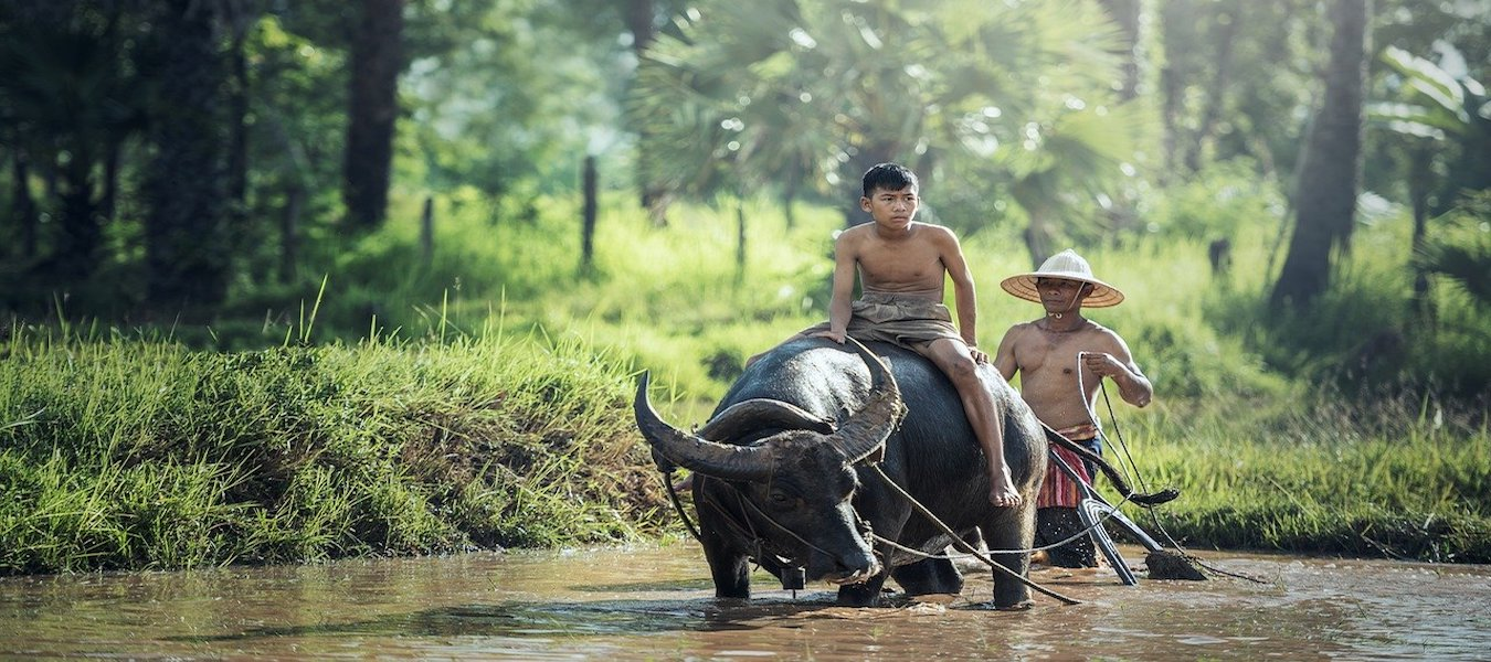 buffalo-rice-farming-asia